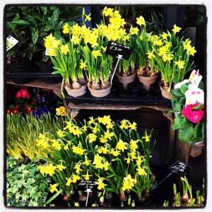 daffodil katy pearson
